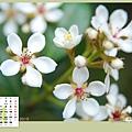 04月_3_台北植物園厚葉石斑木