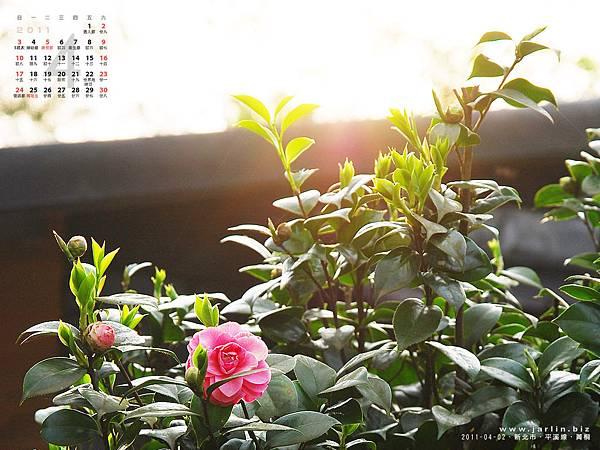 2011_4月‧平溪菁桐‧山茶花