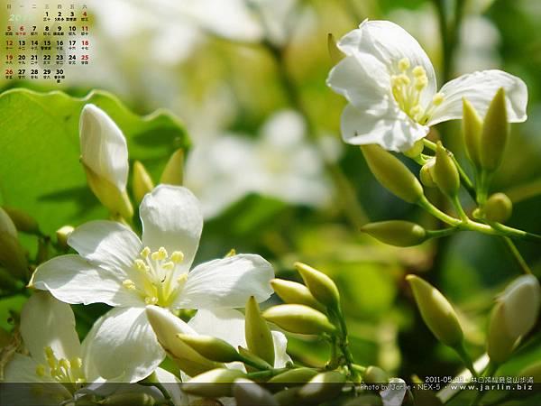 2001年五月‧油桐花