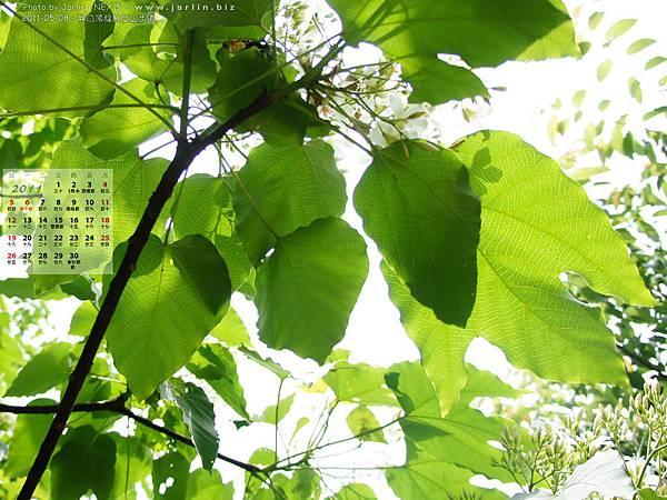 2011年6月‧油桐花