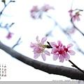 2011_3月‧宜蘭羅東林場的櫻花