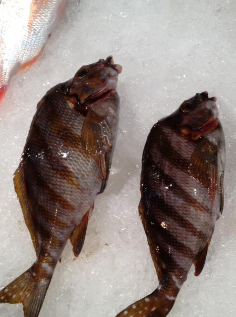 花尾鷹羽鯛