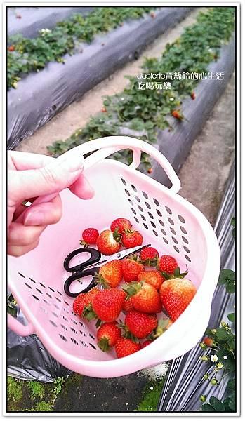 我們這一家採草莓趣1