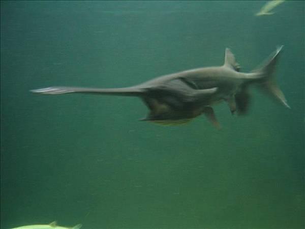 嘴巴合不起來的鯊魚
