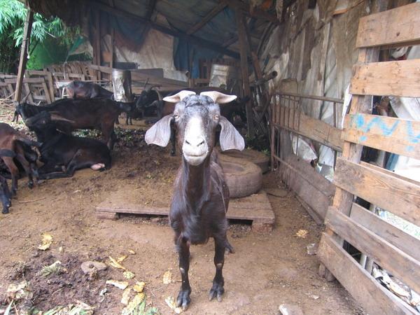 20070618羊3.JPG