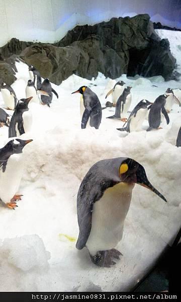 看起來稿自閉的國王企鵝