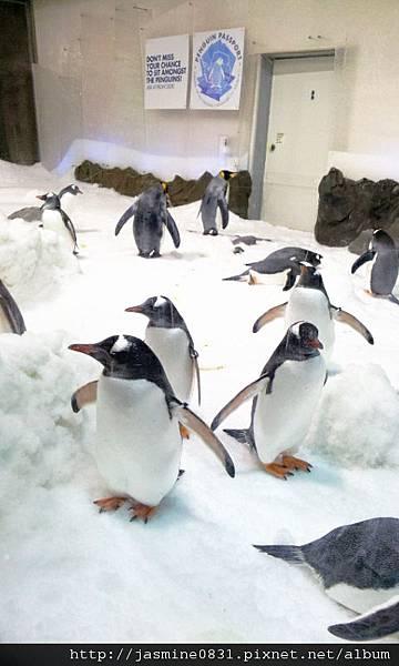 繼續搖擺的企鵝