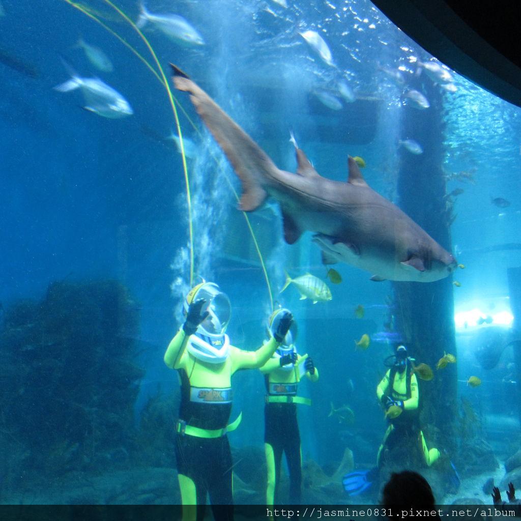 果然是與鯊魚共遊