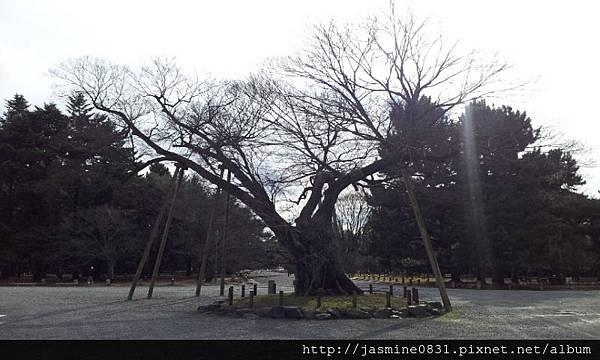 京都御苑內的神木