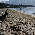 duckings at the beach
