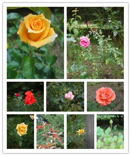 我愛玫瑰.jpg