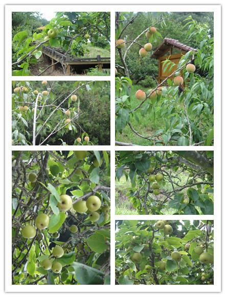 桃子和蘋果.jpg
