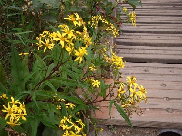 到處都有這樣的黃花陪伴