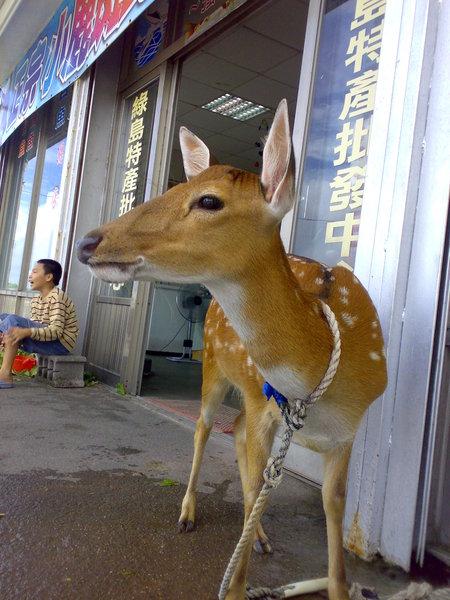 綠島的梅花鹿
