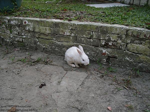 跑出來的兔子04.JPG