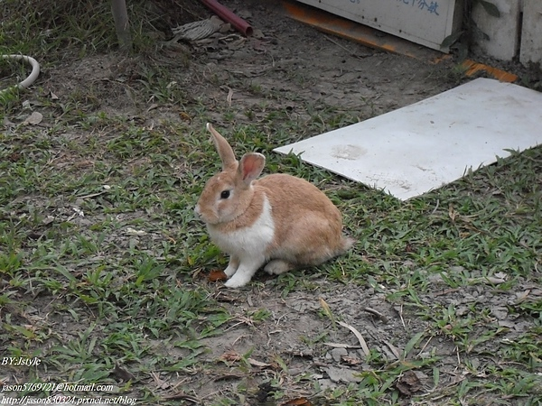 跑出來的兔子02.JPG