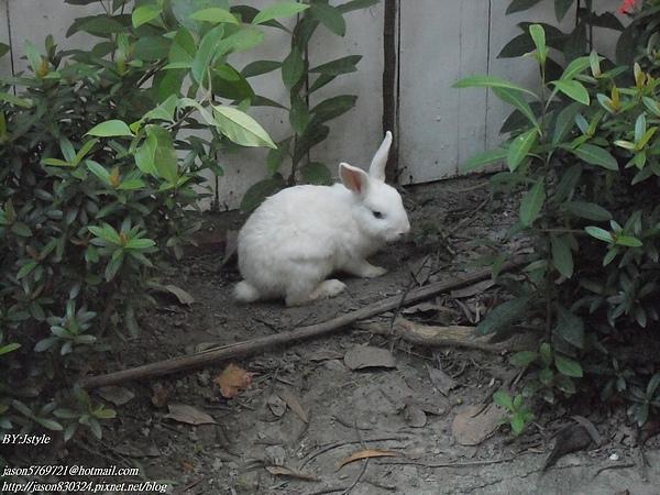 跑出來的兔子01.JPG