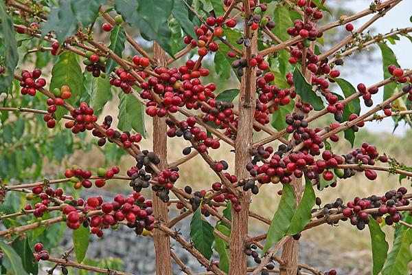 Coffee tree.jpg