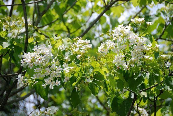 油桐花2.jpg