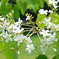 油桐花3.jpg