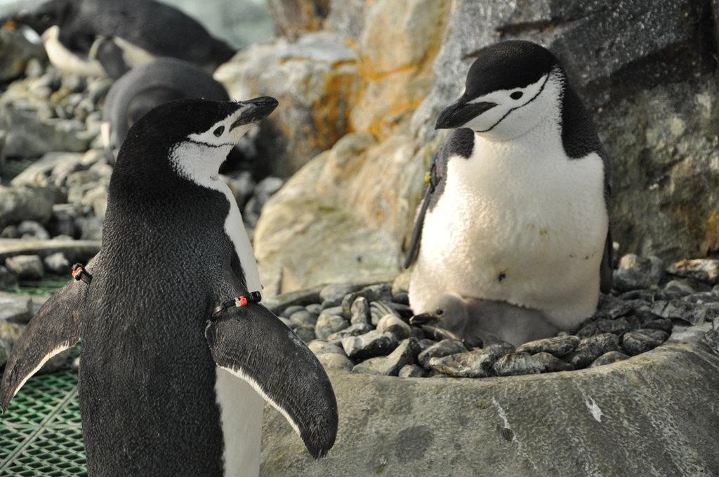 南極企鵝 (4).JPG
