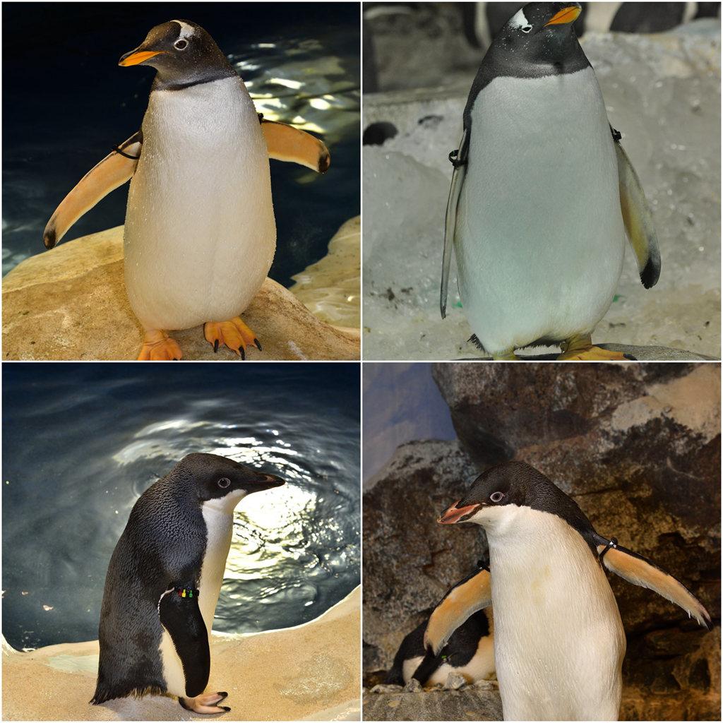 南極企鵝 (9).jpg