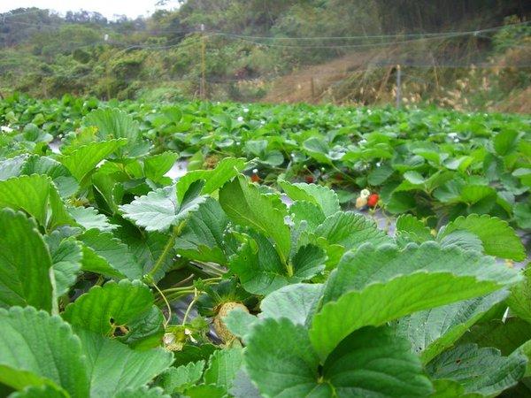 草莓也要有綠葉陪襯