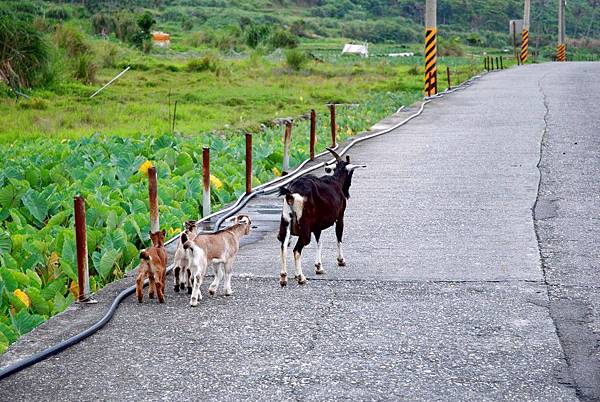 11.處處有羊.jpg