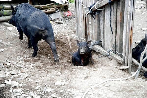 12.還有小豬豬.jpg