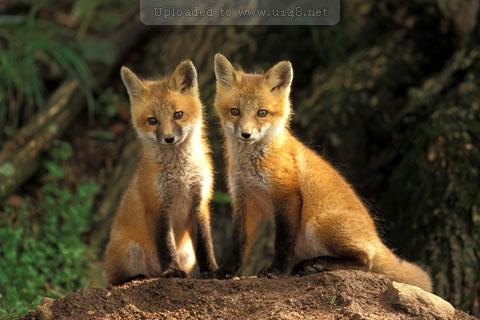 狐的狡猾.jpg
