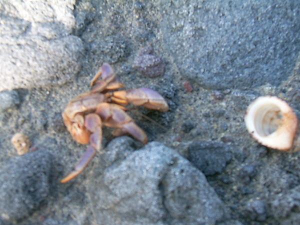 殼被冠男搬家的寄居蟹