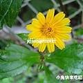 南美蟛蜞菊,別名:三裂葉蟛蜞菊、美洲蟛蜞菊、維多利亞菊、穿地龍、地錦花、黃花蜜菜
