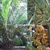 山棕,別名:虎尾棕、黑棕、棕榔、棕節、桄椰子、山椰子、台灣砂糖椰子、散尾葵、矮桄榔、香桄榔