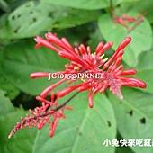 紅樓花,別名:紅筒花
