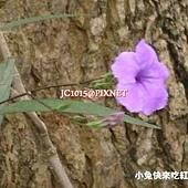 翠蘆莉,別名:紫花蘆利草、蘆莉草、藍花草、日日見花