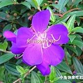 蒂牡花,別名:蒂牡丹、南美野牡丹、豔紫牡丹、翠藍木、紫紺野牡丹、豔紫野牡丹、紫花野牡丹