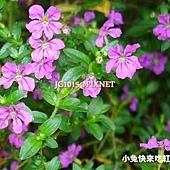 細葉雪茄花,別名:紅丁香、細葉萼距花