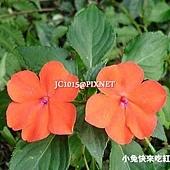非洲鳳仙花,別名:矮鳳仙、指甲花、勿碰我