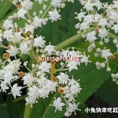 冇骨消,別名:台灣蒴藋、蒴藋、七葉蓮、七珊瑚花、珊瑚花、陸英、接骨草