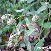 大苞水竹葉,別名:肝炎草、肺炎草、圍夾草、癌草、青竹殼菜、青鴨跖草