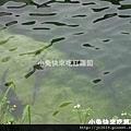 DSC05653_鱘龍魚.JPG