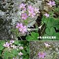 紫花酢漿草,別名:紅花鹽酸仔草