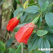 南美朱槿,別名:捲瓣朱槿、大紅袍、燈籠扶桑、懸鈴花、風鈴花、含羞花、姬扶桑