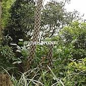 筆筒樹,別名:蛇木、蛇木桫欏、山大人、山棕蕨、蘭盆筆筒樹