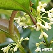 桂花,別名:木犀、巖桂、九里香 、桂、木犀花