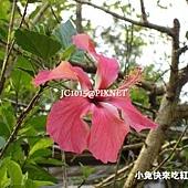 朱槿,別名:扶桑花、大紅花、紅扶桑、扶桑、中國薔薇、佛桑、赤槿、桑槿、日及、宋槿、照殿紅、二紅花、燈籠仔花(台語)