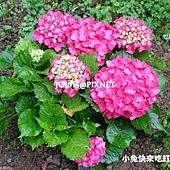 洋繡球,別名:繡球花、大八仙花、八仙花、紫陽花、雪球花、紫繡球、瑪哩花、天麻裏花