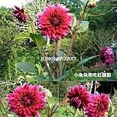大理花,別名:天竺牡丹、大麗花、大麗菊、大里花、洋芍藥、洋牡丹