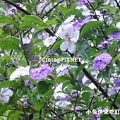 番茉莉,別名:五彩茉莉、香素馨、變色茉莉、紫夜茉莉、紫葉香花