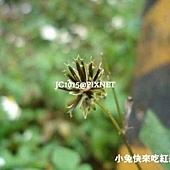 鬼針草(只開黃花),別名:三葉鬼針草、刺針草、金盞銀盤、盲腸草